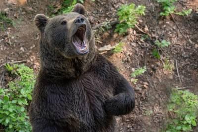 В Красноярском крае охотники застрелят еще 15 опасных медведей