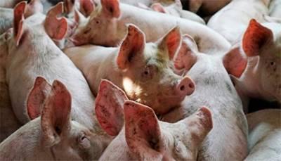Эксперты прогнозируют рост цен на свинину