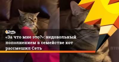 «Зачто мне это?»: недовольный пополнением всемействе кот рассмешил Сеть