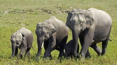В Индии 18 слонов убила молния