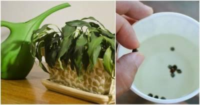 Недорогое аптечное средство, которое обладает полезными свойствами для домашних растений